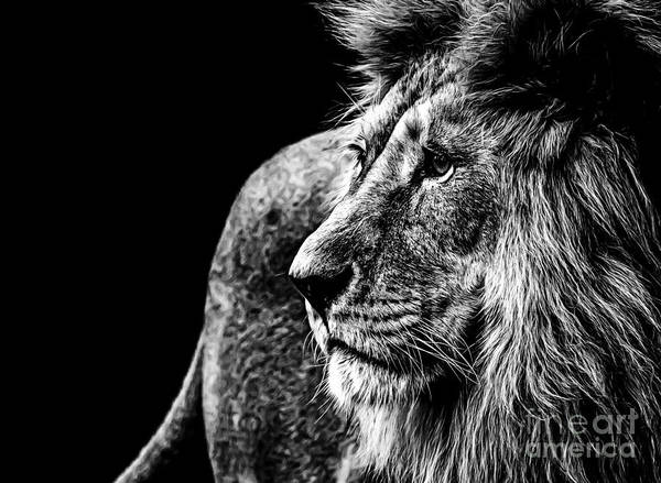Big Boy Photograph - Lion In Black And White by Joerg Huettenhoelscher
