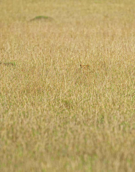 Hiding Photograph - Lion In High Grass Waiting For Unaware by Annie Katz