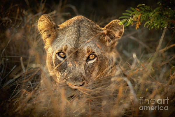 Wall Art - Photograph - Lion In The Grass by Jamie Pham
