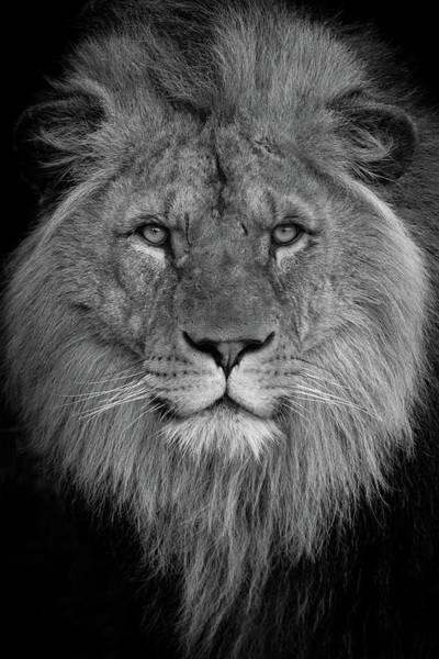 Photograph - Lion King by Tazi Brown
