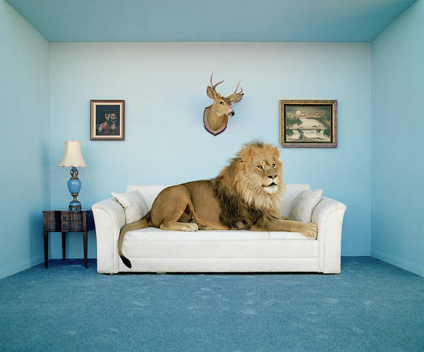 Wall Art - Photograph - Lion Lying On Couch, Side View by Matthias Clamer