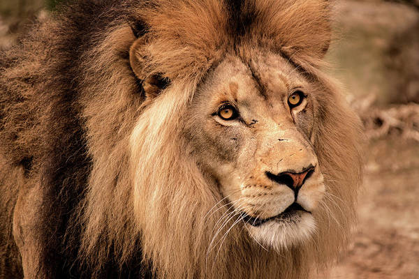 Photograph - Lion-male by Don Johnson