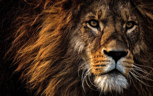 Wall Art - Photograph - Lion Of Africa by Daniel Hagerman