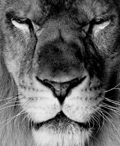Safari Animal Photograph - Lion Panthera Leo Close-up B&w by Denis Felix