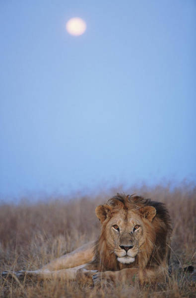 Wall Art - Photograph - Lion Panthera Leo Resting In Grass by Paul Souders