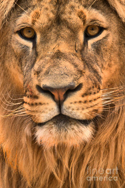 Photograph - Lion Portrait by Adam Jewell