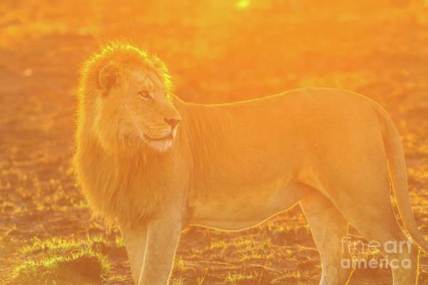 Photograph - Lion Sunrise Light by Benny Marty