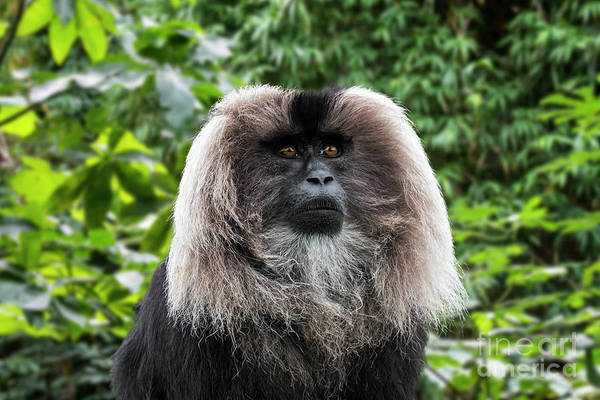 Photograph - Lion-tailed Macaque by Arterra Picture Library