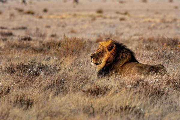 Photograph - Lion Waiting by Kay Brewer