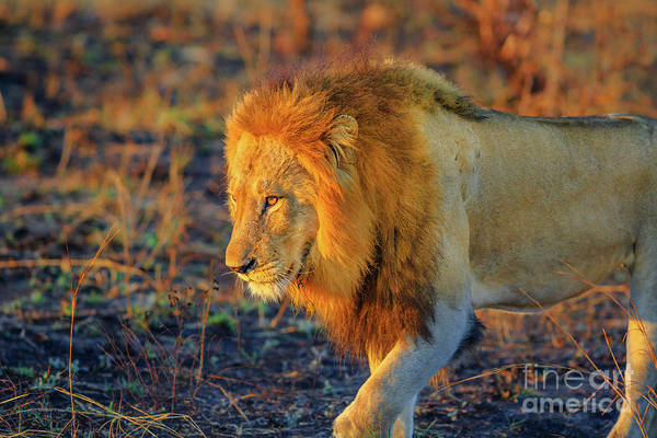 Photograph - Lion Walking Kruger by Benny Marty