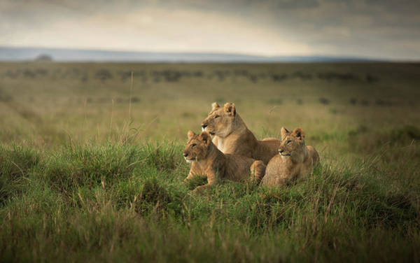 Wall Art - Photograph - Lioness And Cubs Laying In Remote Field by Ac Productions