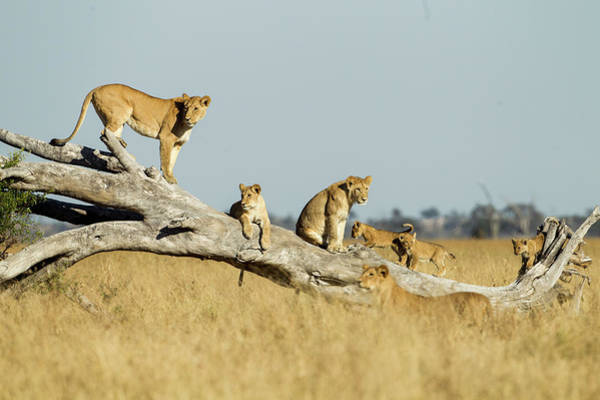 Lioness And Cubs Standing On Dead Tree Art Print