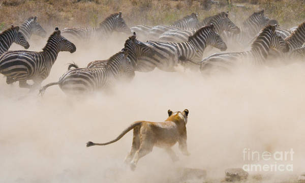 Zoology Wall Art - Photograph - Lioness Attack On A Zebra. National by Gudkov Andrey