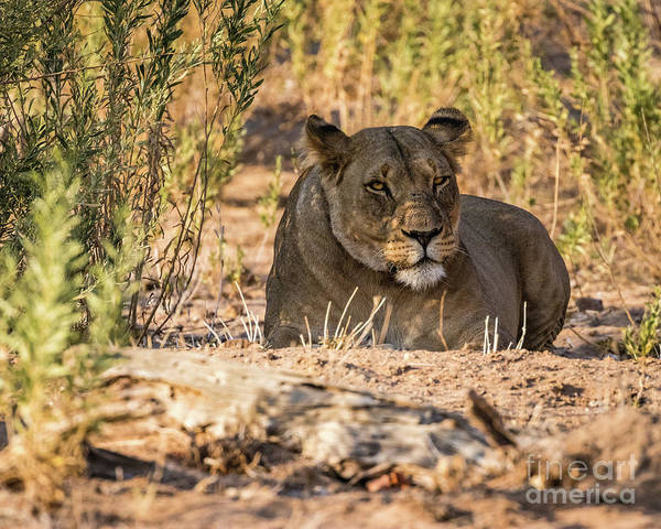 Photograph - Lioness In Hobatere, Namibia by Lyl Dil Creations