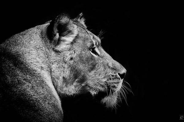 Mammal Photograph - Lioness Portrait by © Christian Meermann