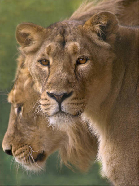 Looking Down Photograph - Lioness Portrait by John Dickson