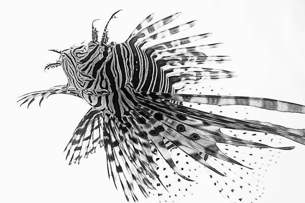 Photograph - Lionfish In Black And White by KJ Swan