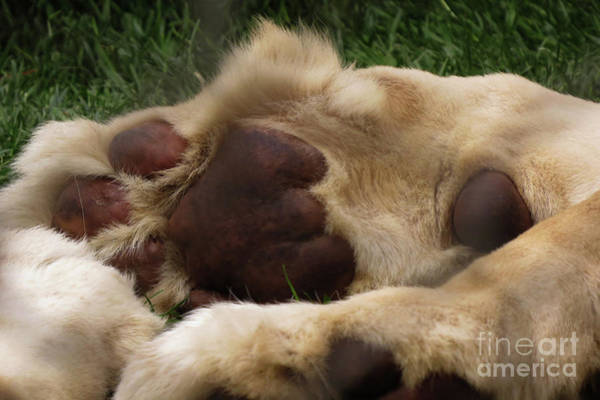 Photograph - Lion's Feet by Mary Mikawoz