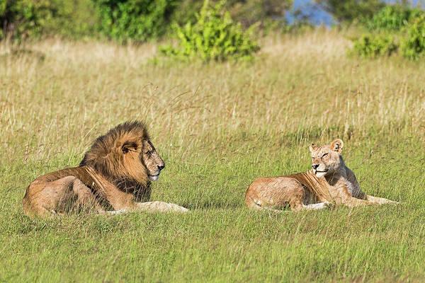 Wall Art - Photograph - Lions Panthera Leo Pair Of Animals Before Mating Lying In The Grass Masai Mara Narok County Kenya by imageBROKER - Erich Schmidt