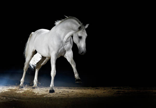 White Horse Wall Art - Photograph - Lipizzaner Horse Playing by Somogyvari