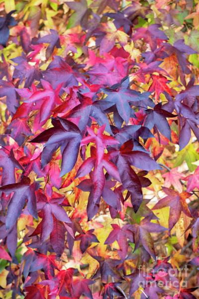 Photograph - Liquidambar Foliage In Autumn by Tim Gainey