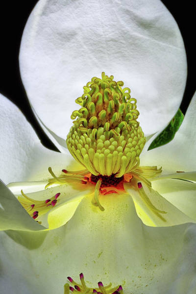 Photograph - Lit Magnolia by JC Findley