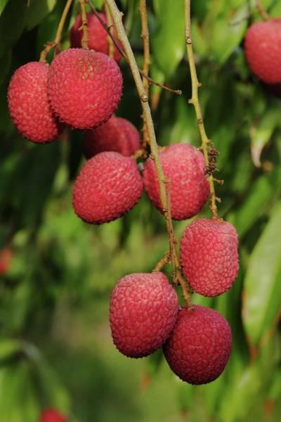 Photograph - Litchi Fruit On Tree by Bradford Martin