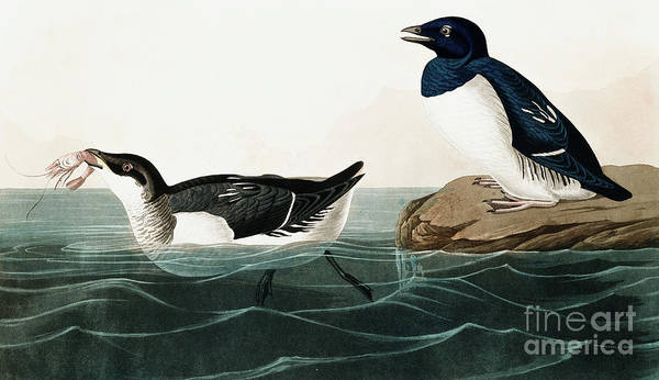 Wall Art - Painting - Little Auk, Uria Alle By Audubon by John James Audubon