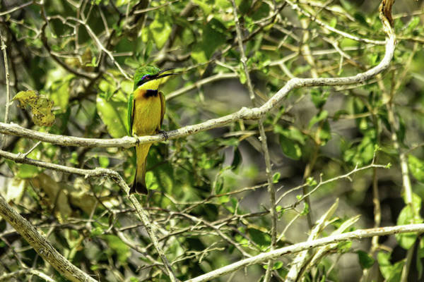 Photograph - Little Bee Eater by Kay Brewer