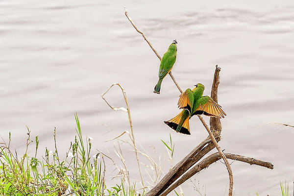 Photograph - Little Bee Eaters  by Kay Brewer
