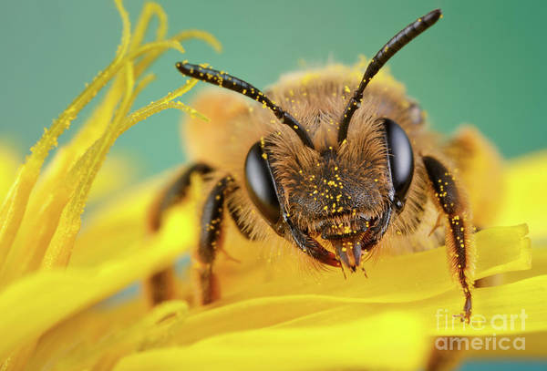 Photograph - Little Bee by Marco Fischer