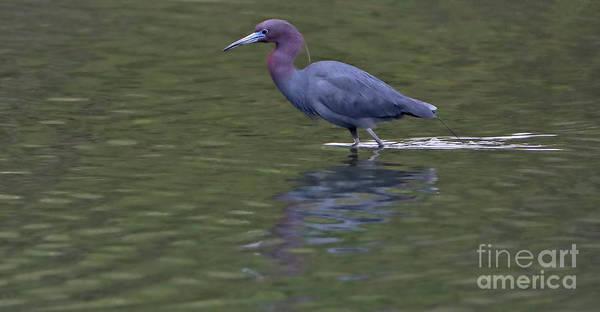 Wall Art - Photograph - Little Blue Heron by Elizabeth Winter