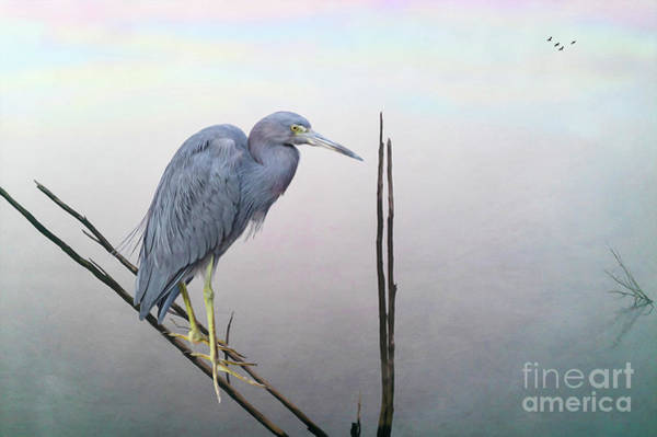 Wall Art - Photograph - Little Blue Heron by Laura D Young