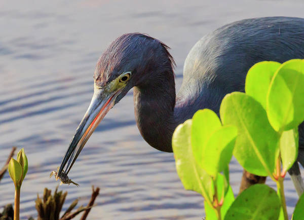 Ding Photograph - Little Blue Heron With Crab, Ding by William Sutton