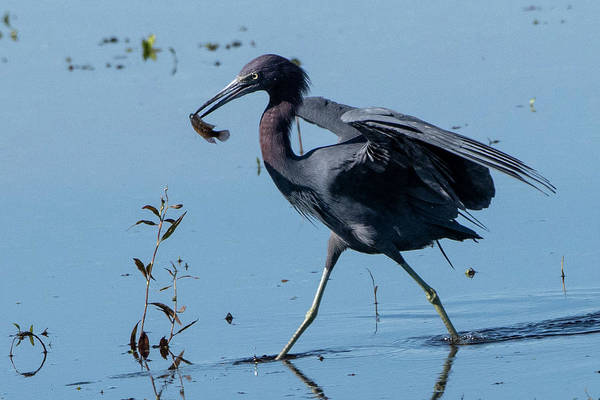 Photograph - Little Blue Heron With Fish by Ken Stampfer