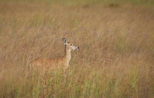 Fawn Photograph - Little Deer On The Prairie by Kristian Bell