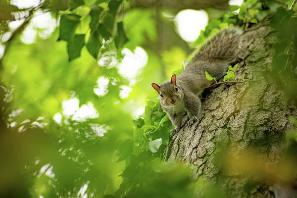 Photograph - Little Eastern Gray Squirrel by Racheal Christian