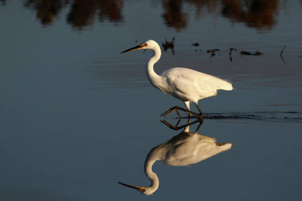Little People Photograph - Little Egret by Auscape/uig
