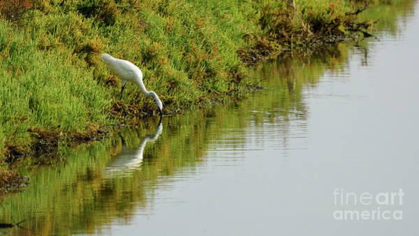 Photograph - Little Egret Egretta Garzetta Feeding On The Marshland by Pablo Avanzini