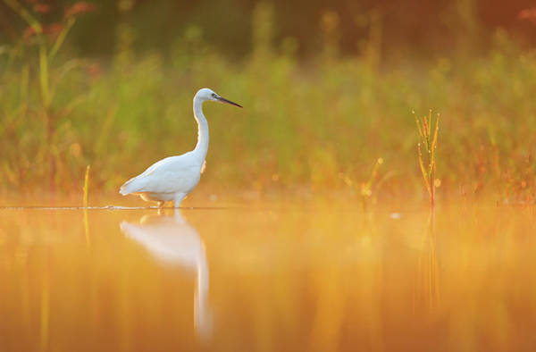 Little People Photograph - Little Egret Egretta Garzetta Foraging by Yves Adams