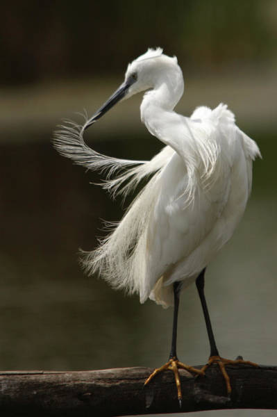 Little People Photograph - Little Egret Egretta Garzetta Perched by Berndt Weissenbacher
