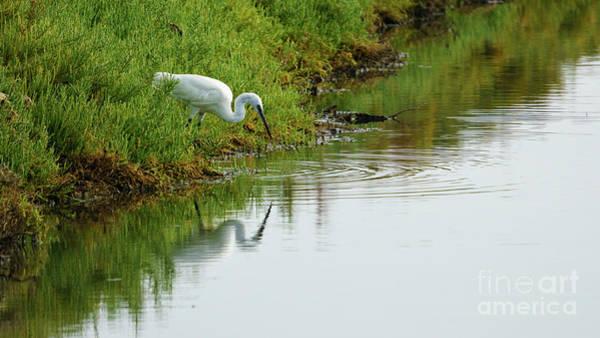 Photograph - Little Egret Egretta Garzetta Reflecting On The Marshland by Pablo Avanzini