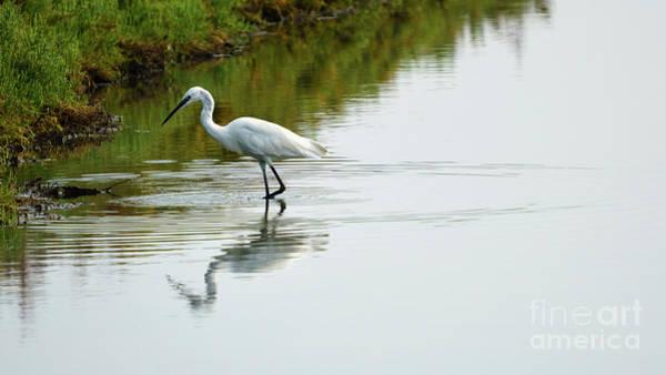 Photograph - Little Egret Egretta Garzetta Walking On The Marshland by Pablo Avanzini