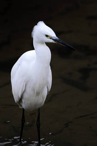 Japan Photograph - Little Egret by I'm Kazuo Ichikawa, Residing In Tokyo, Japan. I Have A Profo