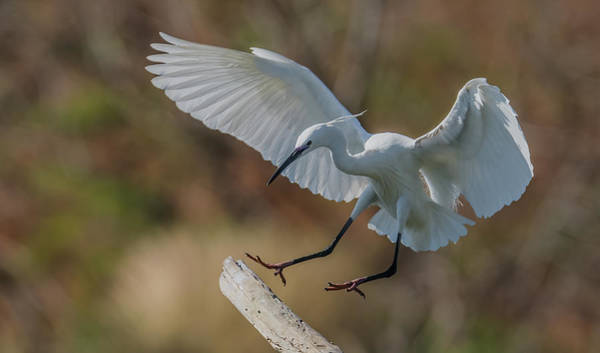 Wall Art - Photograph - Little Egret Landing by Morris Finkelstein