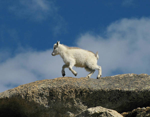 Goat Rocks Wilderness Wall Art - Photograph - Little Goat On The Go by Sandra Leidholdt