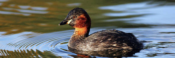 Photograph - Little Grebe In Pond by Grant Glendinning