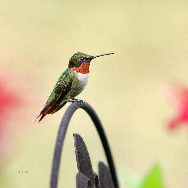 Photograph - Little Hummingbird by Christina Rollo