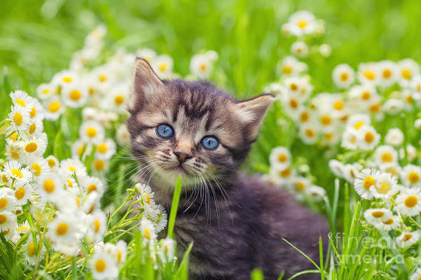 Wall Art - Photograph - Little Kitten In The Camomile Flowers by Vvvita