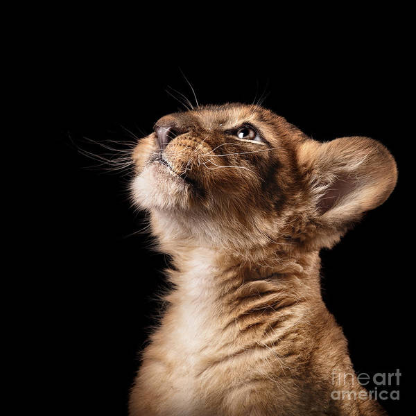 Big Cat Wall Art - Photograph - Little Lion Cub In Studio On Black by Ekaterina Brusnika